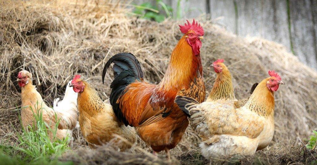 Aufstallungspflicht für Geflügel in der Gemeinde Elmenhorst aufgehoben